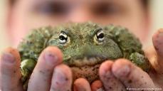 """الزواحف والحيوانات البرمائية ناقلة أيضا لبكتيريا """"الكانبيلوباكتر"""". وقد اكتشف الأطباء حديثا أن 11 بالمائة من الإصابات بين المرضى دون 21 عاما، تعود أولا للضفادع والثعابين والسحالي"""