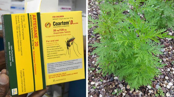 يستخدم نبات الشيح كعنصر رئيسي في مركبات علاج الملاريا منذ زمن طويل