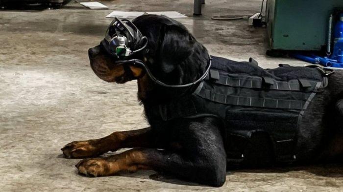 تم إجراء الكثير من الأبحاث علي كلاب الخدمة العسكرية من نوع رودفيلر