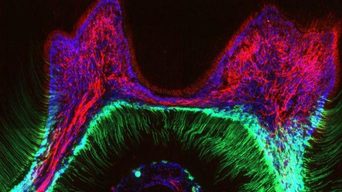 أجرى الباحثون تجارب على أسنان البشر والفئران وهذه صورة لطبقات الأسنان الداخلية لفأر