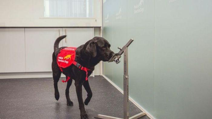 الكلاب منحت مكافآت عندما خمنت بشكل صحيح ما إذا كانت العينة تابعة لفرد مصاب أو غير مصاب
